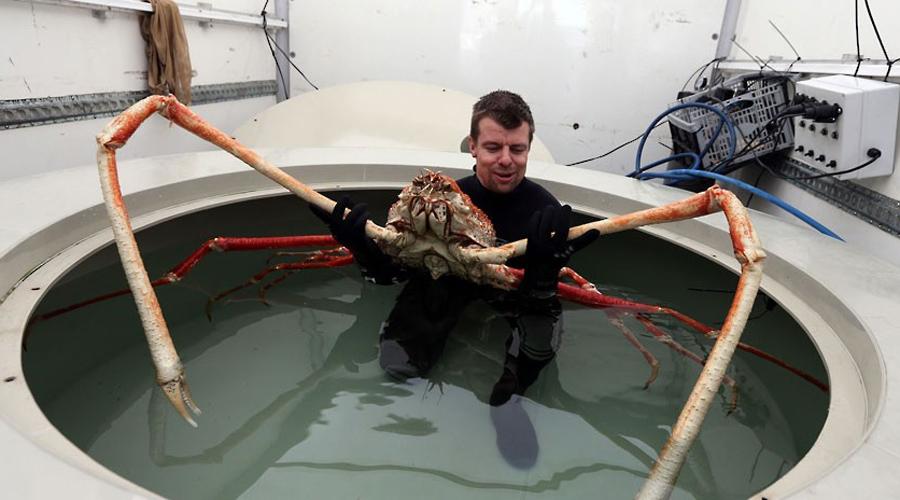 Японский паук-краб Это один из самых крупных представителей членистоногих. Выглядит как ваш самый жуткий кошмар: тело длиной 45 сантиметров и трехметровые клешни. Живет же паук-краб целых сто лет!