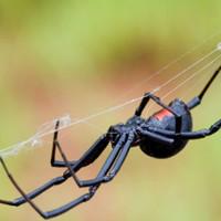 Пять самых опасных пауков на планете. Некоторые есть и у нас!