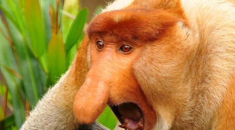 Обезьяна-носач Из всех автомобилей предпочитает заниженные «приоры». Этот нос обезьяне вообще не очень-то нужен, он выполняет только одну функцию: приманивает самок. Типа, чем больше нос, тем лучше.