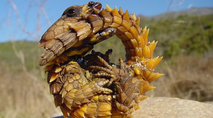 Молох Где, как не в Австралии можно повстречать колючую ящерицу? Молохи охотятся на насекомых по ночам и сравнительно безопасны. Чего, конечно, никогда не скажешь по их внешности.