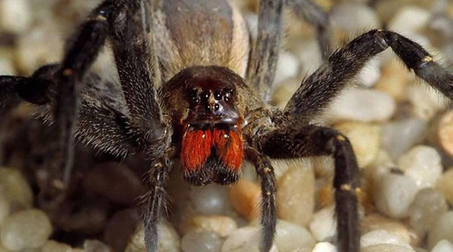 Бразильский странствующий паук Бразильский странствующий паук считается чуть ли не самым агрессивным представителем вида. Кроме того, он еще и жутко ядовит, для человека укус его смертелен. Хуже всего, что бразилец очень любит путешествовать и часто попадает в супермаркеты Европы вместе со связкой бананов.