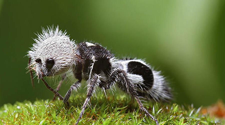 Муравей-панда Такое прозвище эти представители отряда Mutillidae получили за раскраску. Несмотря на мирное название, муравьи довольно опасны и укусы их очень болезненны.