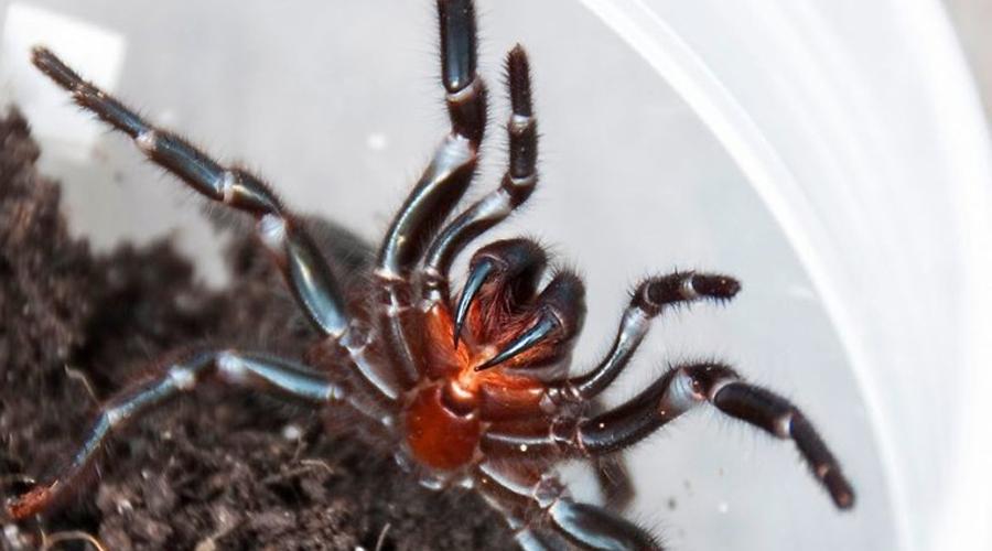 Воронковый паук Судя по всему, демиург создавал Австралию в припадке безудержного веселья. Количество странных тварей на континенте просто зашкаливает, а уж опасности здесь подстерегают на каждом шагу. К примеру, жители Сиднея могут нарваться на воронкового паука в любой момент. При укусе он впрыскивает в кровь атракотоксин, резко повышающий кровяное давление. Жертва буквально задыхается за каких-то 15 минут.