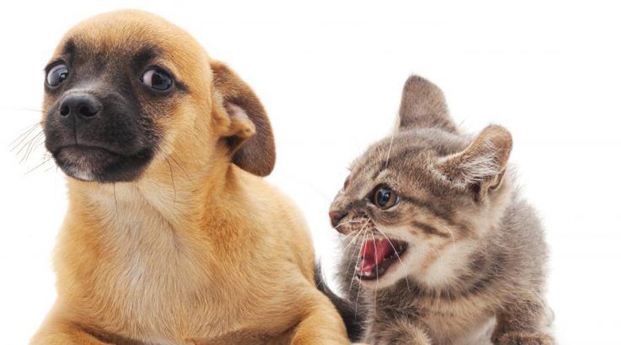 Некоторые кошки и собаки Да, безусловно, очень часто кошка и собака могут ужиться в одном доме. Тем не менее иногда всплеск агрессии происходит совершенно неожиданно для хозяина и заканчивается печально для меньшего из животных. Охотничьи виды собак, к примеру, в какой-то момент могут воспринять кота как добычу.