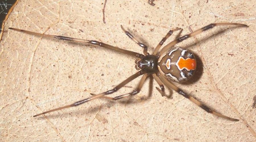 Красноспинный паук Окрас чем-то напоминает Черную вдову, но на деле красноспинный паук менее опасен. Его яд всего лишь выключает человека из жизни на 24 часа: бедняге суждено мучаться ужасной головной болью, высокой температурой и постоянной рвотой.