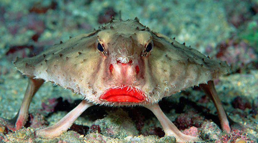 Нетопырь Дарвина Родина нетопыря (который совсем даже никакой не нетопырь, а вовсе даже рыба) — Галапагосские острова. Пловец из него ужасный: бедняга вынужден передвигаться по дну пешком, перебирая плавниками.