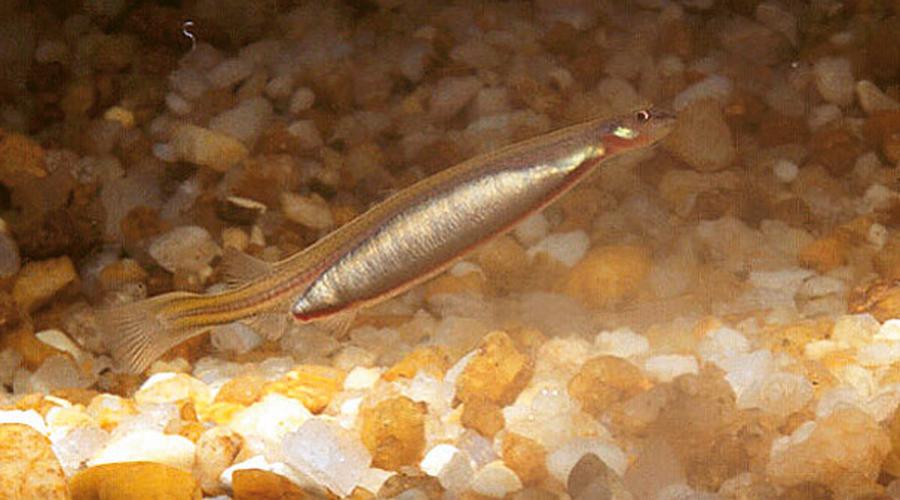Ванделлия Крохотная рыбка-ванделия обитает в дельте Амазонки. Специальными рецепторами ванделия отслеживает запах мочевины и почуяв его, устремляется к источнику. Если повезет ей и не повезет человеку, то рыбка заберется прямо в уретру, где специальными крючками зацепится за стенки, разрежет кожу и будет пить кровь. Вытащить ванделию можно только с помощью хирургического вмешательства.