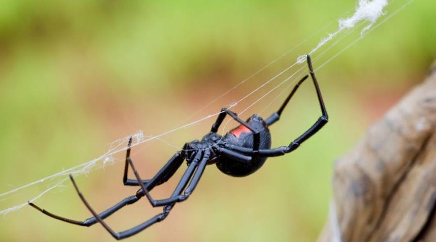 Черная вдова В Техасе, да и вообще на юге США встретить Latrodectus mactans проще простого. Правда, свидетель такого свидания редко остается в живых, ведь яд этого паука в 15 раз опаснее яда гремучей змеи. Нейротоксин (точнее, латротоксин) в считанные секунды вызывает паралич тела, затем следует неминуемая гибель.