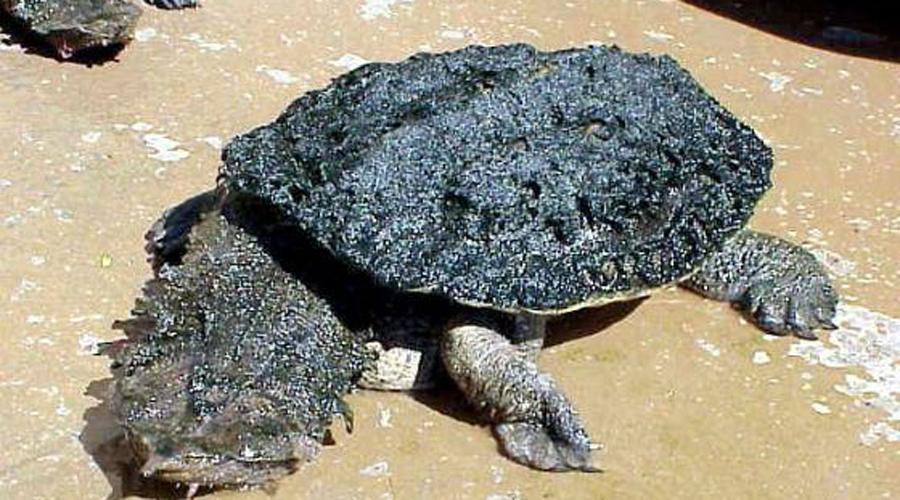 Бахромчатая черепаха Матамата — мастер камуфляжа. Ее голова и шея покрыты острыми наростами, из-за которых черепаха выглядит жутким мутантом.