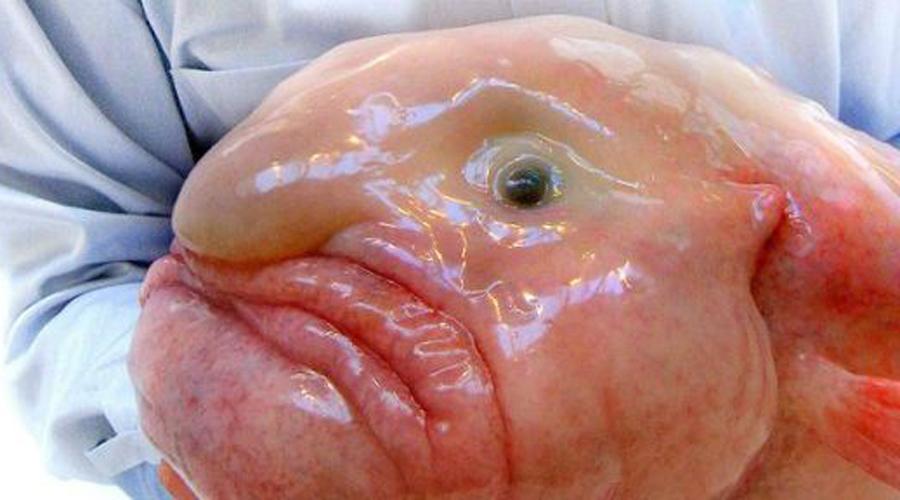Рыба-капля Скорее, рыба-сопля. Расстояние между глазами и некое подобие носа придает созданию сходство с грустным человеческим лицом.