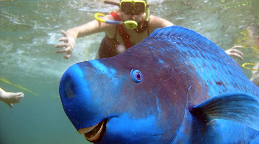 Голубая рыба-попугай В Полинезии рыба настолько ценится, что считается королевским блюдом. Едят ее традиционно сырой, не обращая внимание на то, что рыбка обволакивает себя прозрачной слизью для защиты от хищников.