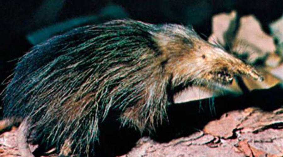 Щелезуб Биологи полагали, что алмикви вымерли сотни лет назад. Недавно оказалось: щелезубы живут себе поживают на Кубе и Гаити, просто они ночные и скрытные животные. А еще страшные, агрессивные и ядовитые!