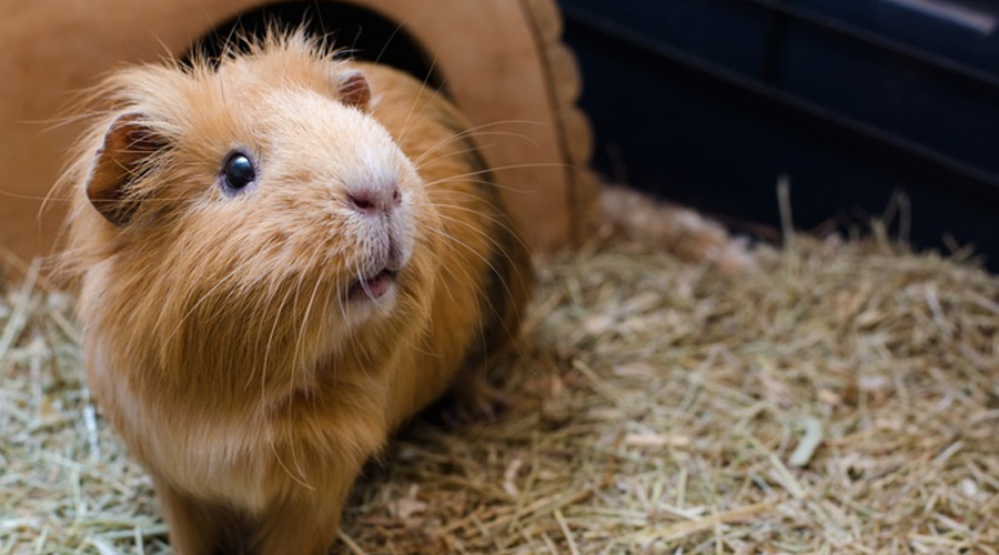 Кролики и морские свинки Таким милым и пушистым созданиям просто на роду написана дружба! Но не в реальном мире. Кролики вполне способны чуть ли не осознанно издеваться над морскими свинками. Кроме того, некоторые кроличьи бактерии могут вызвать серьезное респираторное заболевание у морских свинок.
