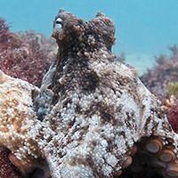 Таинственное логово восьмируких обнаружено у берегов Австралии