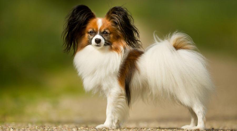 Папильон 8 место Маленькие собачки обычно воспринимаются слабыми, трусливыми и недалекими созданиями. Папильон совсем не таков: пес умнее, сильнее и даже жестче, чем кажется. Собака очень быстро учит новые команды и способна не дрогнув хвостом броситься на защиту хозяина.
