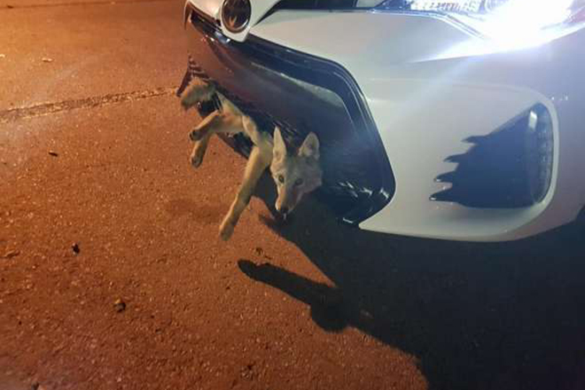 Машина сбила самого везучего на свете койота, а водителя ждал большой сюрприз!