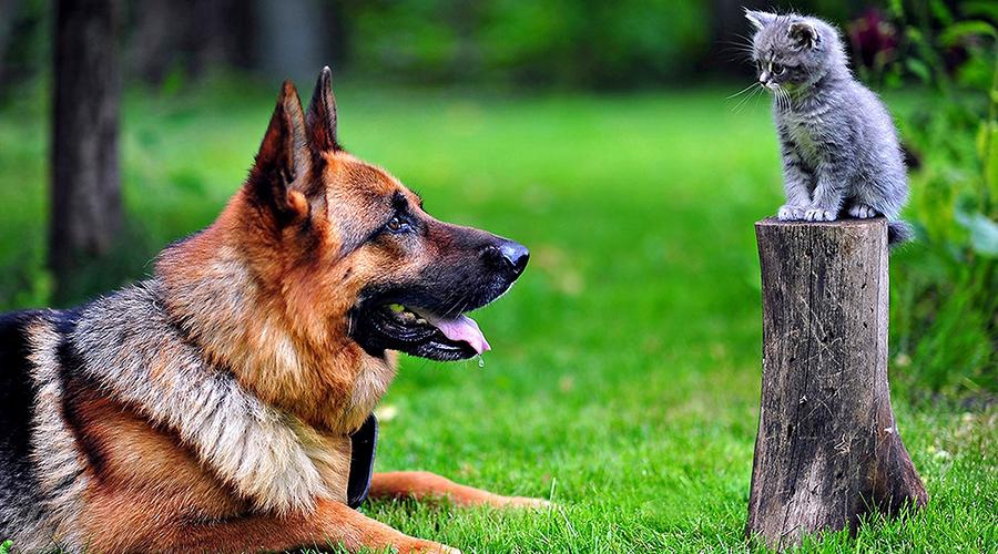 Немецкая овчарка 3 место Еще одна жертва необоснованных слухов. Немецкие овчарки так часто использовались в качестве служебных собак, что люди привыкли воспринимать породу как недалекую, но исполнительную. В реальности же немецкая овчарка входит в тройку самых умных пород собак во всем мире.