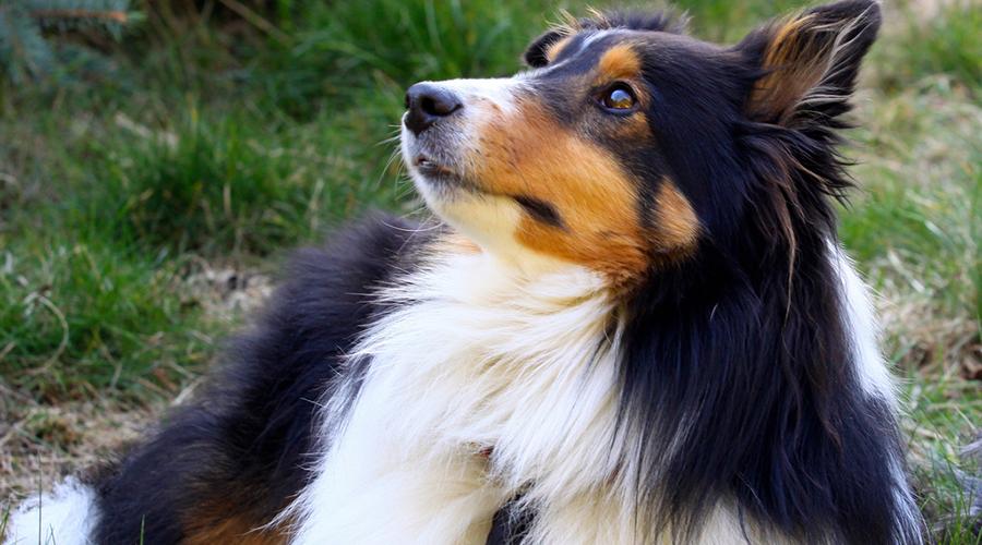 Шелти 6 место Шотландскую овчарку часто путают с колли. Породы и в самом деле похожи, но шелти умнее и организованнее сородичей. Декоративная внешность не помеха бойцовскому характеру: шелти считаются сильными и уверенными собаками.