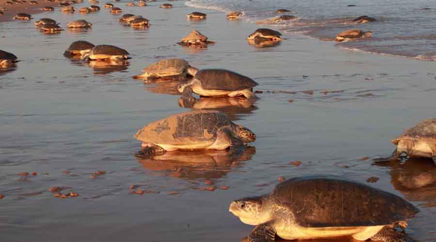 Пляж Чандипур Индия Этот пляж еще прозывают невидимым. К вечеру начинается отлив такой силы, что дно обнажается на целых пять километров! На песке остаются озадаченные черепахи и самые невезучие рыбы.