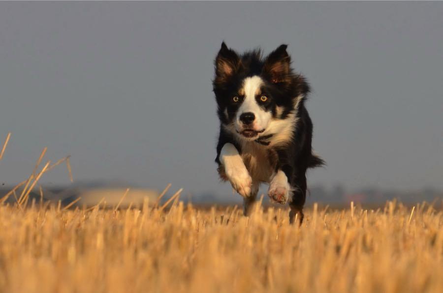 Бордер-колли 1 место Недавно ученые Университета Британской Колумбии подтвердили результаты исследования Стенли Корена: бордер-колли единогласно признана самой умной собакой из всех пород. Грациозные собаки действительно отличаются очень высоким интеллектом, но требуют постоянных физических и умственных нагрузок. Пустить воспитание бордер-колли на самотек будет огромной ошибкой.