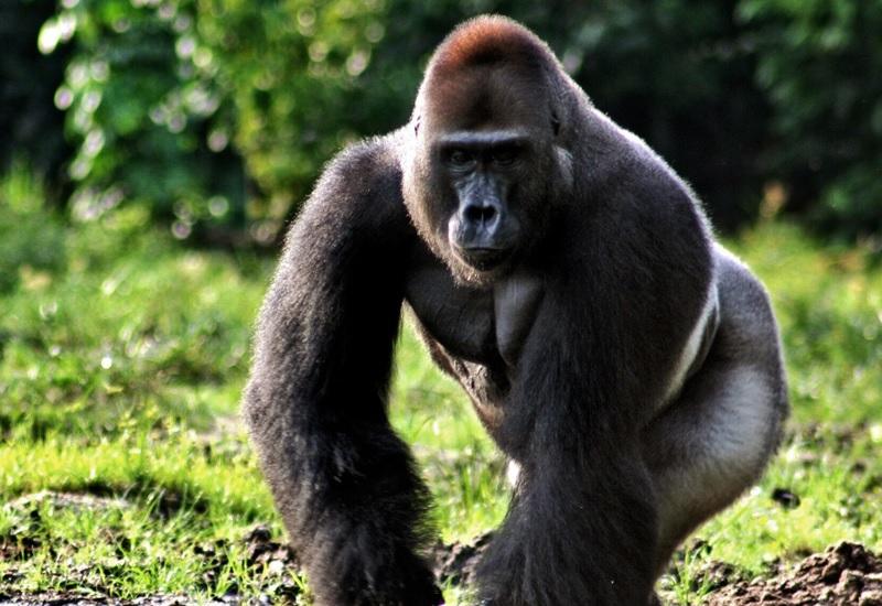 Высшие приматы Численность: примерно 500 тыс. Главное преимущество перед человеком: невероятная сила и скорость передвижения Кинг-Конг – вымышленный персонаж, одним махом сшибающий полицейские вертолет. Но полмиллиона горилл на нашей планете исключительно реальны, очень сильны и одновременно очень умны. Все высшие приматы (как и их младшие собратья по царству обезьян, такие как шимпанзе) бегают и прыгают лучше человека, а по деревьям передвигаются лучше любого представителя кошачьих. Силу гориллы доподлинно еще никто не измерил – попытки были, но самоубийственные. Зато некоторые биологи, проводившие исследования в Танзании, считают, что высшие приматы уже вступили в свой каменный век. К счастью, обезьяны очень любят ссориться между собой – война их племен отнимает столько сил, что на человека они обратят внимание еще не скоро.