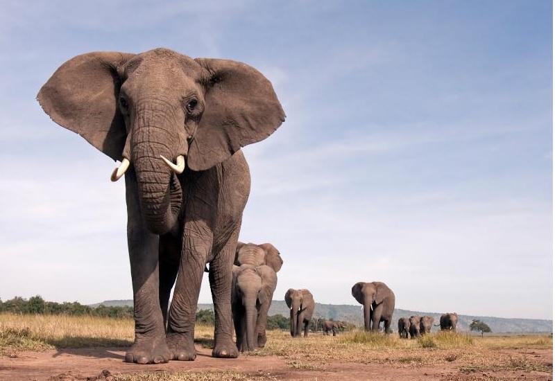 Слоны Численность: примерно 500 тыс. Главное преимущество перед человеком: потрясающая память Поскольку слон – по сути, биологический танк, его лучше не нервировать. Судите сами: самцы весят до шести тонн, имеют пуленепробиваемую шкуру, могут пройти сквозь бетонную стену и уж точно хлопнуть человека хоботом. Беда еще и в том, что в брачный сезон уровень тестостерона у самцов резко повышается в 60 (шестьдесят) раз. Никогда не ходите по слоновьей тропе без крайней необходимости. Хуже даже не это, а то, что слоны помнят обидчиков как минимум в третьем поколении. К счастью, если слона не обижать, он не причинит человеку никакого вреда.