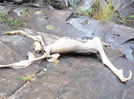 Существо из Серро-Асуль Найденное в 2009 году возле панамской деревни Серро-Асуль существо, предположительно, напало на группу подростков, которым удалось его убить. Фотографии начали сравнивать с обнаруженным несколько ранее в окрестностях Нью-Йорка Монтокским монстром, и сразу появились разнообразные предположения о природе находки: ленивец без шерсти, неизвестное науке существо или вообще инопланетное создание. Выполненная сотрудниками Национального природоохранного агентства Панамы биопсия показала, что труп действительно является останками распространенного в джунглях Латинской Америки ленивца, а его очень странный внешний вид был вызван подводным разложением. История с нападением была выдумана от начала до конца.