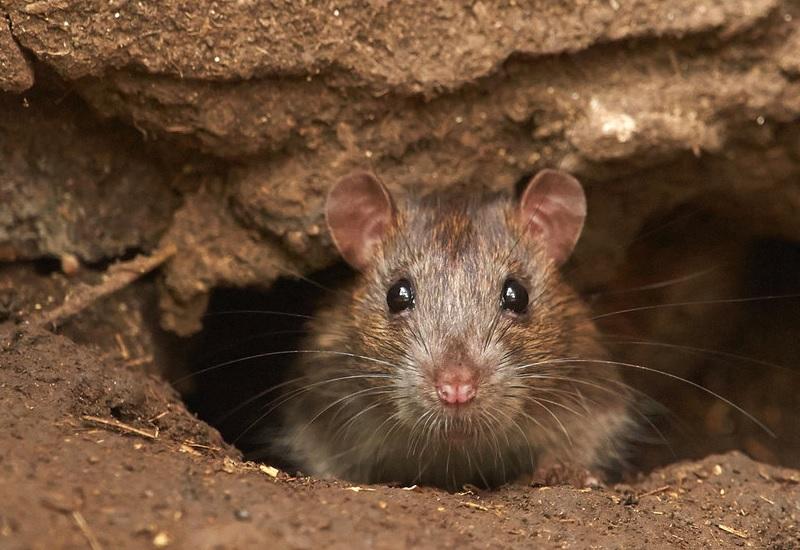 Крысы Численность: не поддается подсчету, но крыс точно больше, чем людей Главное преимущество: приспособляемость к любым условиям Млекопитающие, как и мы с вами – но мы бы не удивились, узнав, что крысы сделаны из высокопрочного металла. Они едят практически все, яды на них не действуют (уже в третьем поколении крысы вырабатывают полный иммунитет). Они размножаются с огромной скоростью. В городах у крыс нет естественных врагов, кроме автомобилей. Они очень умны и всегда действуют заодно. В голодные для людей времена крысы приладились грабить склады. Самцы ложились на спину, а самки – расковыривали ящики с куриными яйцами и аккуратно передавали яйца по цепочке. Крысята были в восторге и быстро научились воровать даже кофейные зерна. К счастью, от крыс есть не только угроза, но и польза: должен же кто-то собирать за нами объедки.