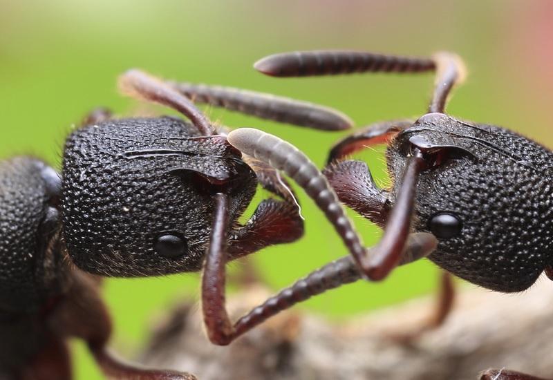 Муравьи Численность: по некоторым оценкам, 100 триллионов самых разных видов Главное преимущество перед человеком: врожденная самоорганизация У муравьев нет инстинкта самосохранения. Муравей не существует сам по себе – только в своем обществе. Муравейник весьма похож на утопическое человеческое общество, тем-то он и опасен. У каждого муравья с рождения есть профессия: рабочий, военный, надсмотрщик. Лучшее описание муравьев принадлежит бразильскому путешественнику Хосе Ривера: «Вопль его был страшнее клича, возвещавшего о начале войны: – Муравьи! Муравьи!» Муравьи! Это означало, что людям немедленно следовало бросить работу, покинуть жилища, огнем проложить себе путь к отступлению и искать убежища где попало. Это было нашествие кровожадных муравьев тамбоча. Они опустошают огромные пространства, наступая с шумом, напоминающим гул пожара. Похожие на бескрылых ос с красной головой и тонким тельцем, они повергают в ужас своим количеством и своей прожорливостью. В каждую нору, в каждую щель, в каждое дупло, в листву, в гнёзда и ульи просачивается густая смердящая волна, пожирая голубей, крыс, пресмыкающихся, обращая в бегство людей и животных… Тогда всеми овладела одна мысль: спастись. Они предпочли муравьям пиявок и укрылись в небольшой заводи, погрузившись в нее по шею. К счастью, муравьиные стаи всегда враждуют между собой, и если не разрывать их муравейник, они не обратят на вас внимания. Исключение – красные тропические муравьи тамбоча, которые едят вообще все, даже людей, и там где они проходят, исчезает все живое.