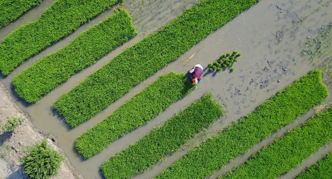 Ученые Китая вывели новый сорт риса, который спасет миллионы жизней