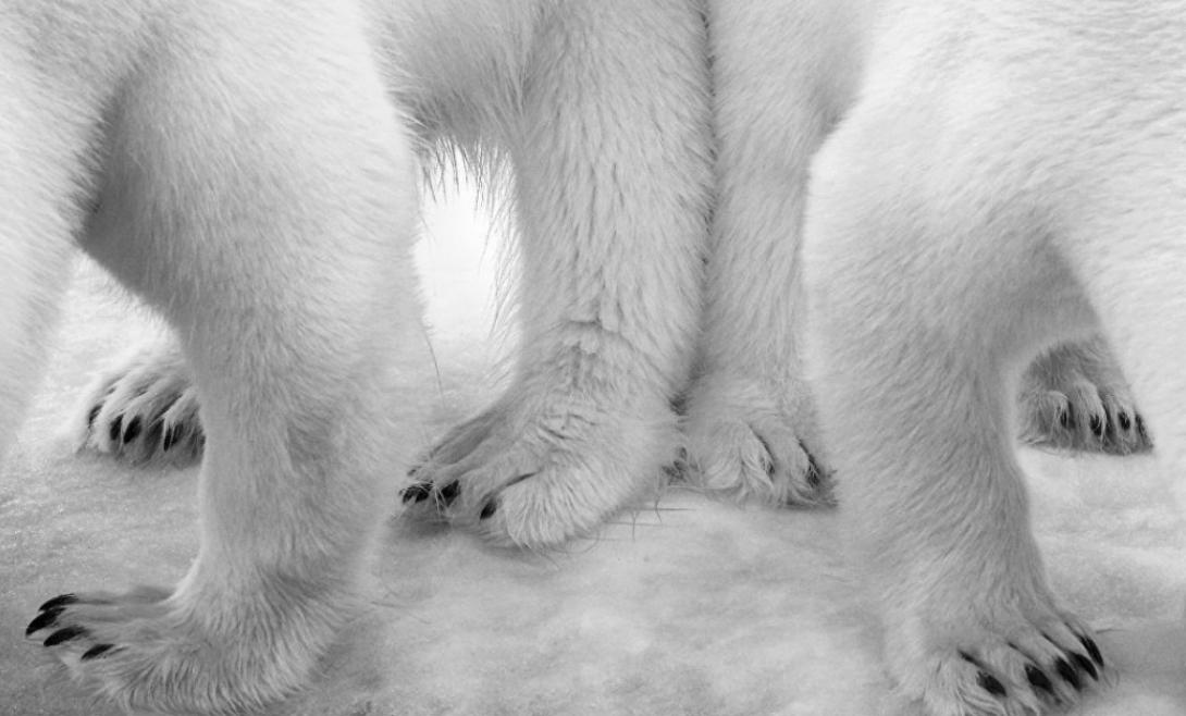 Полярное па-де-де Этот уникальный снимок белых медведей взял первый приз в категории «Черное и белое». Автор, Эйло Энвингер, потратил два месяца, чтобы поймать столь необычный кадр.