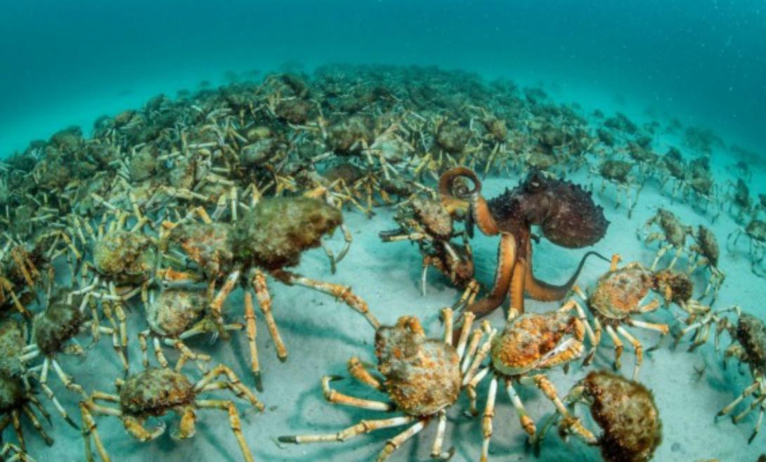 Крабовый сюрприз Присмотритесь внимательно к этому снимку. Будто война осьминога с целой армией крабов! Австралиец Джастин Гиллиган занял первое место в категории «Поведение: беспозвоночные».