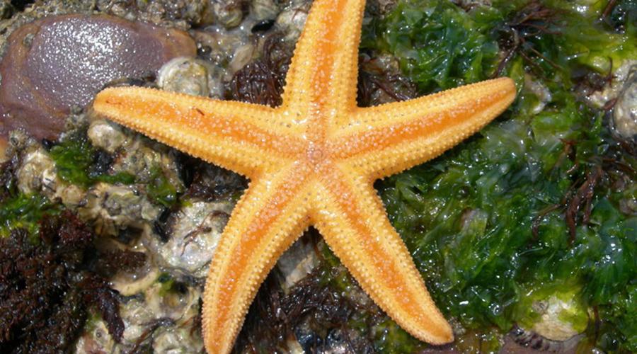 Амурская морская звезда Чаще всего этот опасный океанский обитатель встречается на большой глубине. Однако иногда амурская морская звезда перебирается поближе к побережью и тогда наступить на нее можно прямо в прибое. Ядовитое создание ни в коем случае нельзя употреблять в пищу — это грозит серьезным отравлением.