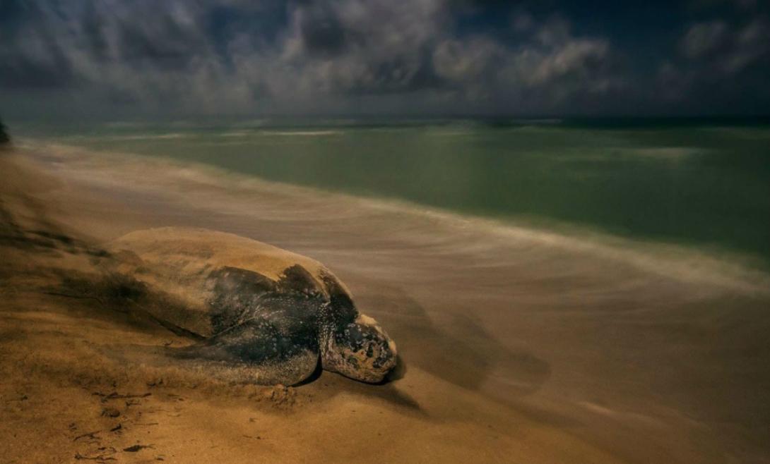 Древний ритуал На фотографии только что вылупившаяся черепашка проходит древний как сам мир путь из песка в океан. Работа американского фотографа Брайана Скерри получила первый приз в категории «Поведение: амфибии и рептилии».