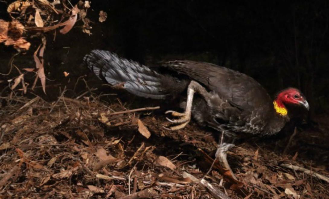 Птица-инкубатор Победитель категории «Птицы». На фотографии изображен кустарниковый большеног, который в отличие от других птиц не высиживает яйца, но закапывает их в землю. Герои Пирсу удалось поймать как раз этот удивительный момент.