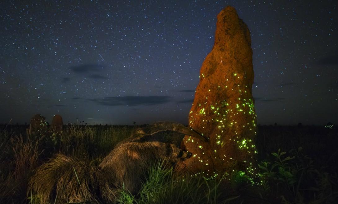 Ночной захватчик Бразильский фотограф Марсио Кабрал отправился в национальный парк Эмас, чтобы сделать одну-единственную фотографию. Работа «Ночной захватчик» заняла первое место в категории «Животные в среде их обитания».