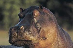 preview - sem zhivotnykh - hippo