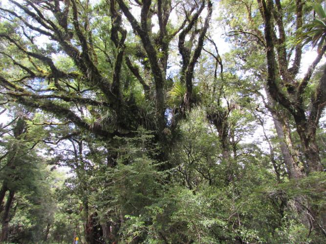 Агатис южный Этот вид деревьев видел (и пережил!) динозавров. Палеонтологи считают, что впервые агатис появился еще 150 миллионов лет назад. Вечнозеленое дерево обычно вырастает до 50 метров в высоту.