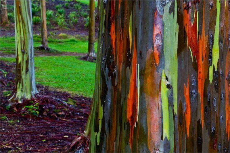 Эвкалипт радужный Этот вид отличается уникальной разноцветной корой. Встретить радужный эвкалипт можно лишь в Северном полушарии. Высота дерева достигает 75 метров, а диаметр ствола — 2,5 метров. Интересно, что раскраска коры дерева постоянно меняется с возрастом.