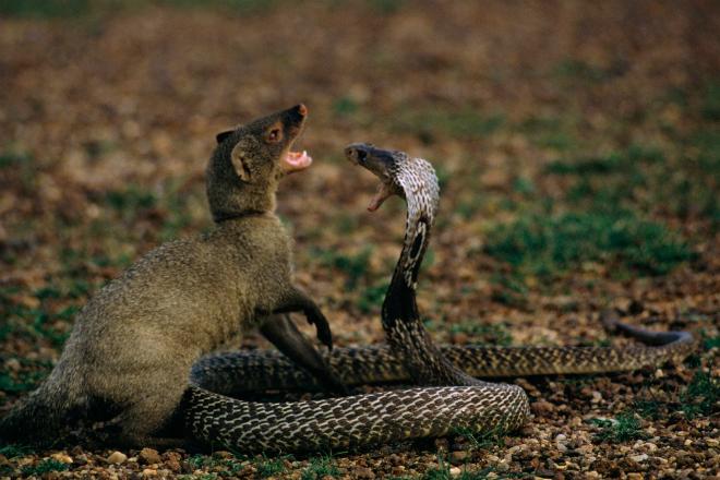 Жестокая битва мангуста и кобры попала на видео