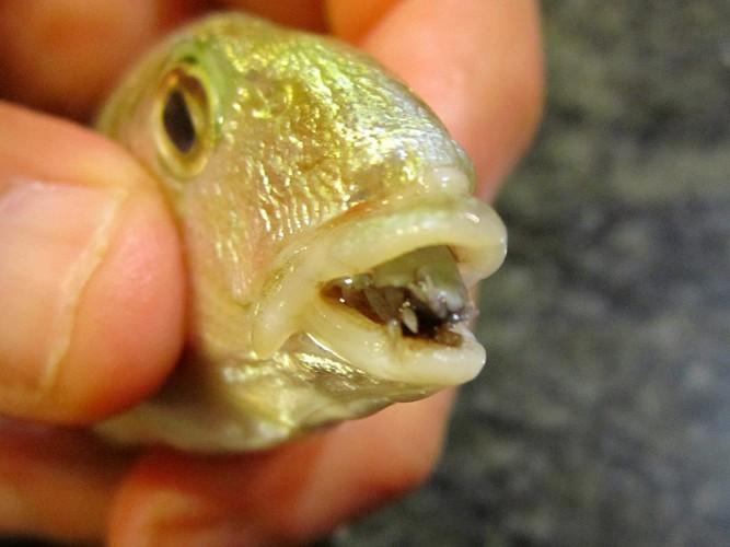 Языковая мокрица Это создание не могли бы придумать и авторы ужасов. Самец вида Cymothoa exigua атакует рыбу через жабры, проникает в ее рот и пьет кровь, пока не достигнет следующего уровня развития. Мокрица начинает превращаться в самку, увеличивается в размерах и отращивает длинные ноги. В конечной стадии язык рыбы просто отваливается, а Cymothoa exigua занимает ее место — носитель пользуется мокрицей как протезом. Самка же спаривается с проникающими через жабры самцами и откладывает новое потомство.
