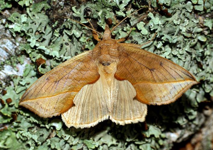 Совка хохлатковая Бабочка-вампир, как вам? Сибирский ночной мотылек, Calyptra thalictri, своим хоботком прокалывает кожу млекопитающих и часто охотится даже на человека, чтобы насытиться его кровью.