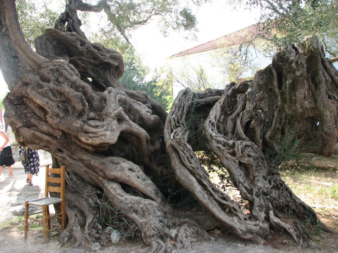Оливковое дерево Крита Самое старое оливковое дерево в мире плодоносит и сегодня. За четыре тысячи лет оно практически не изменилось и теперь является объектом пристального внимания ученых Критского университета.