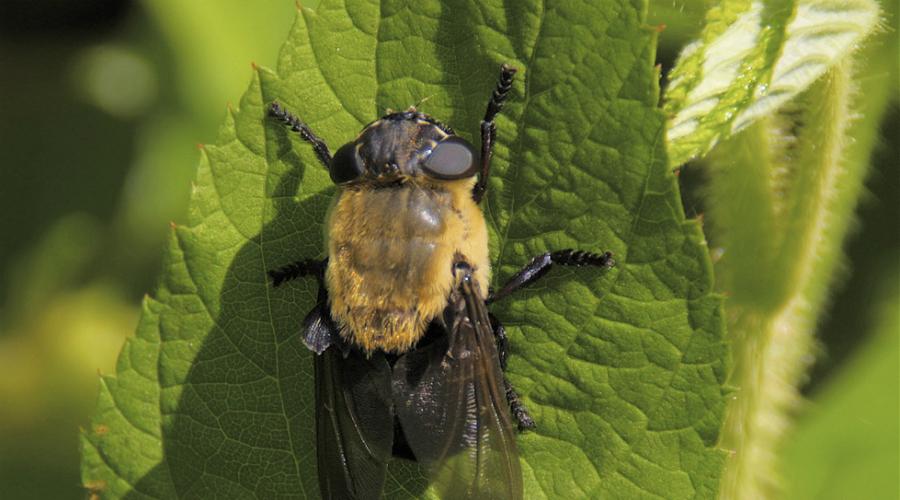 Овод Бойтесь укуса овода. Эти отвратительные насекомые часто откладывают личинки прямо в тело человека. Личинка растет и начинает пожирать окружающую плоть. Достать ее можно лишь после хирургического вмешательства.