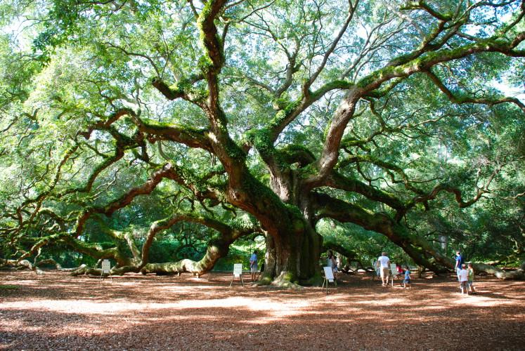Дуб Ангела Этот очень необычный дуб растет на территории небольшого национального парка в Южной Каролине, США. Двадцать метров в высоту, ствол в три метра и крона площадью в 160 квадратных метров! Возраст дуба Ангела — полторы тысячи лет.