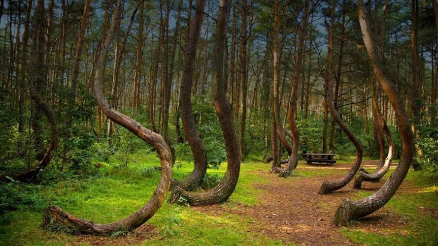 Кривой лес Пожалуй, один из самых необычных лесов мира растет у польского городка Грыфено. Сосны отчего-то искривляются в сторону севера, а затем вновь начинают расти прямо. Почему так никто не понимает.
