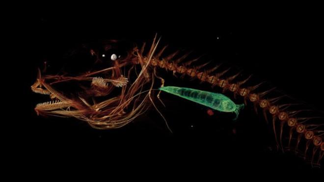 Pseudoliparis-swirei-4_thumb
