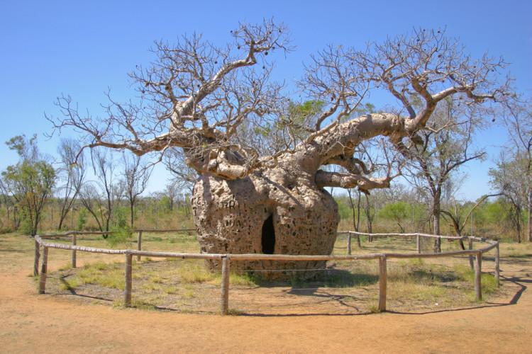Тюремное дерево На самом деле, это всего лишь огромный баобаб, растущий у деревни Дерби в западной Австралии. Диаметр ствола этого необычного баобаба целых 14 метров: в начале XX века местные полицейские выдолбили в стволе камеру, где содержали преступников.