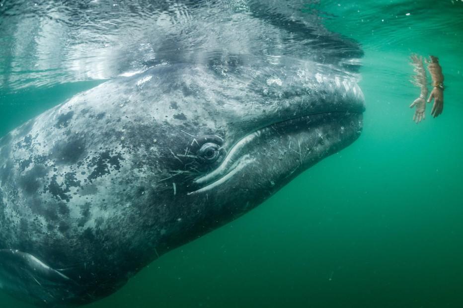 Турист и кит Томас Пешак Лагуна Сан-Игнасио — излюбленное место отдыха серых китов. Когда-то рыбаки боялись этих огромных созданий, сегодня же возят на лодках туристов, желающих собственными руками дотронуться до чуда природы.