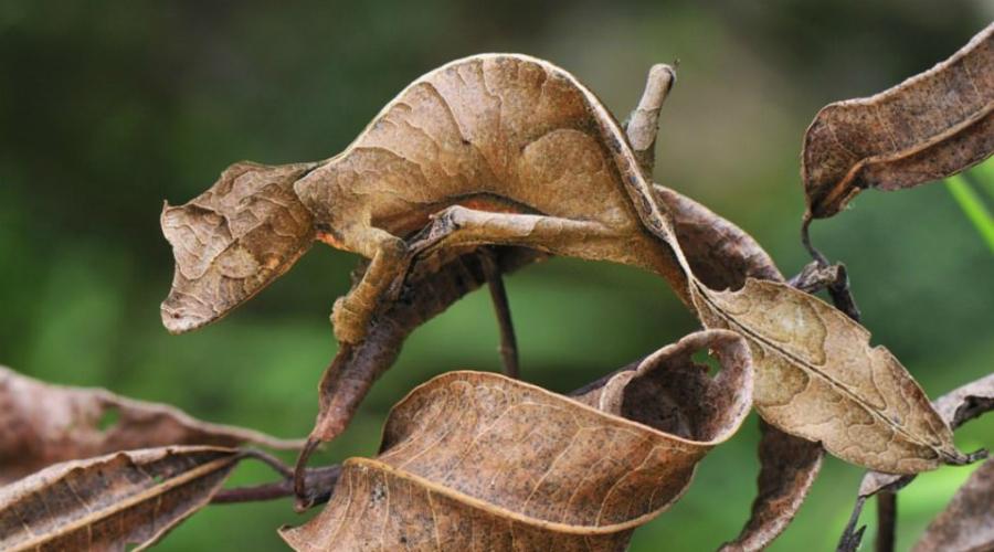 Ночной листохвостый геккон Такого мастера камуфляжа заметить очень сложно. Биологи долгие годы искали новые виды гекконов и не могли разглядеть этот прямо перед своими глазами!